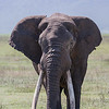 An African elephant (Loxodonta africana) with exceptionally long tusks. At times, his tusks were dragging on the ground! Taken in the Ngorongoro Crater, Tanzania, Africa.