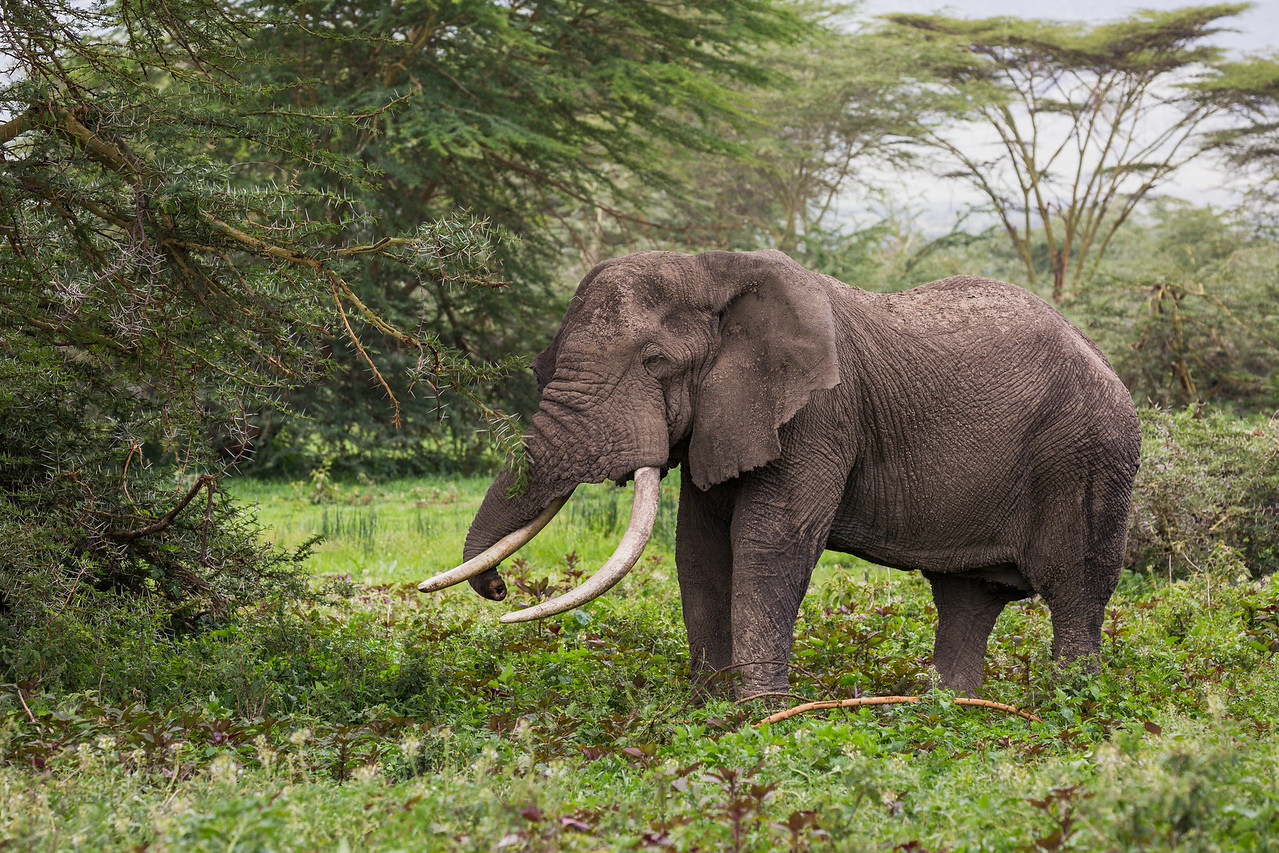 An African elephant (Loxodonta africana) in the forest of acacia trees. Taken in the Ngorongoro Crater, Tanzania, Africa.
