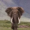 A huge bull African elephant (Loxodonta africana) comes straight at the photographer. He has wonderfully asymmetric tusks. The steep walls of the Ngorongoro Crater are in the background. Taken in Tanzania, Africa.