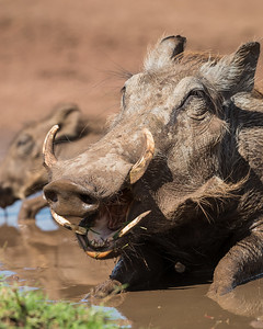 A common warthog (Phacochoerus africanus). Taken in the Ngorongoro Crater, Tanzania, Africa.