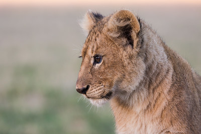 A Masai lion (Panthera leo nubica) cub. Taken in the Ngorongoro Crater, Tanzania, Africa.