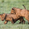 Two young Masai lion (Panthera leo nubica) cubs at play. Taken in the Ngorongoro Crater, Tanzania, Africa.