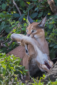 """Caracal With Prey"""