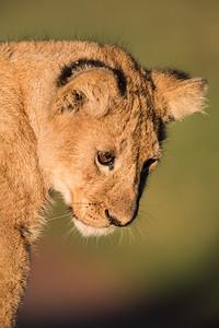 A Masai lion (Panthera leo nubica) cub. Taken in the Ngorongoro Crater, Tanzania, Africa.