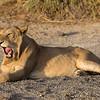 A lion (Panthera leo) yawns. Taken in the Central Serengeti, Tanzania, Africa.