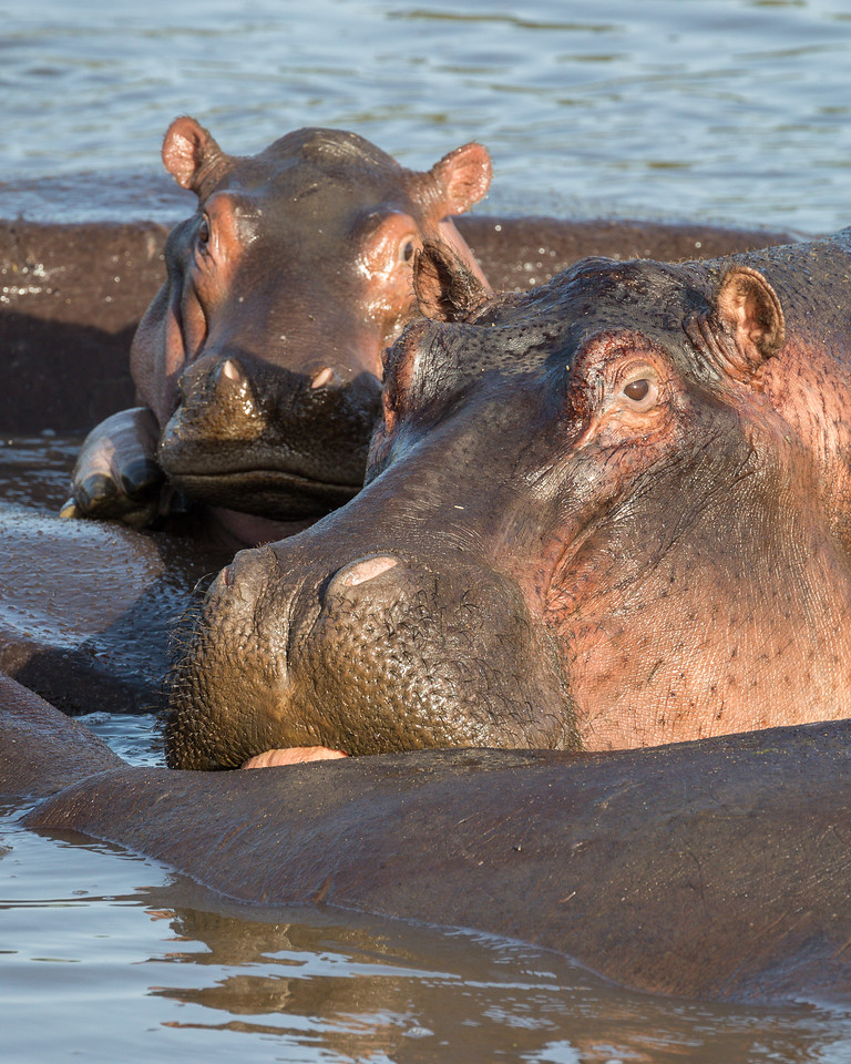 Several hippopotamus (Hippopotamus amphibius), including a young calf and its mother, float in a hippo pool. Taken in the Central Serengeti, Tanzania, Africa.