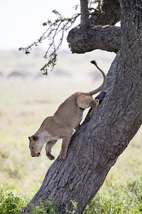 """Lion In a Tree"""
