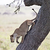 """""""Lion In a Tree"""""""