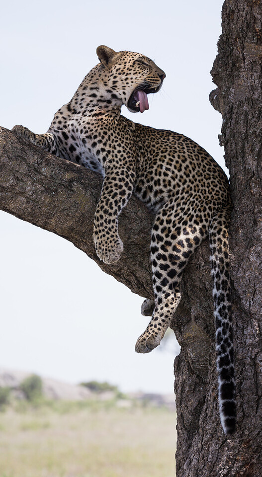 A leopard (Panthera pardus) yawns in a tree. Taken in the Central Serengeti, Tanzania, Africa.