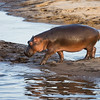 A young hippopotamus (Hippopotamus amphibius) calf gingerly steps over the sand to enter the water of a hippo pool. Taken in the Central Serengeti, Tanzania, Africa.