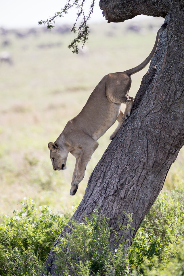 A lioness (Panthera leo) descends an acacia tree. Taken in the Central Serengeti, Tanzania, Africa.