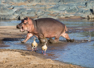 A young hippopotamus (Hippopotamus amphibius,), splashes and scares two Egyptian geese (Alopochen aegyptiacus). Taken in the Central Serengeti, Tanzania, Africa.