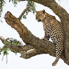 A male leopard (Panthera pardus) looks off in the distance from its high vantage point on the branch of a tree. Taken in the Central Serengeti, Tanzania, Africa.