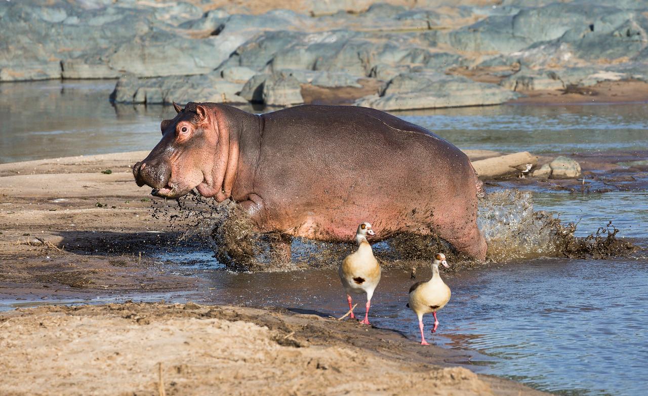 A young hippopotamus (Hippopotamus amphibius,), splashes and scares two Egyptian geese (Alopochen aegyptiacus). Taken in the Central Serengeti, Tanzania, Africa.