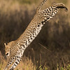 A leopard (Panthera pardus) leaps into mid-air from a tree where it had been resting.  The species is listed as vulnerable on the IUCN Red List of Threatened Species at iucnredlist.org. Taken in the Central Serengeti, Tanzania, Africa.