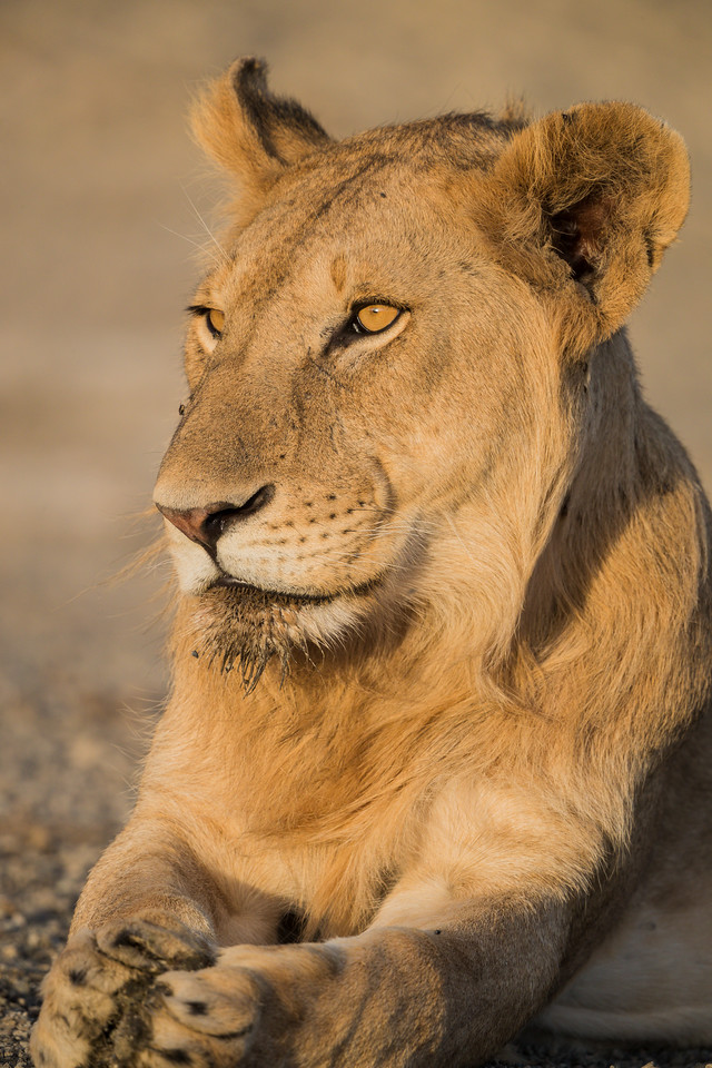 A lion (Panthera leo) portrait. Taken in the Central Serengeti, Tanzania, Africa.