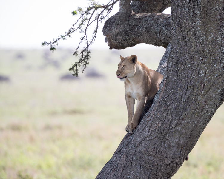 A lioness (Panthera leo) licks her lips in an acacia tree. Taken in the Central Serengeti, Tanzania, Africa.