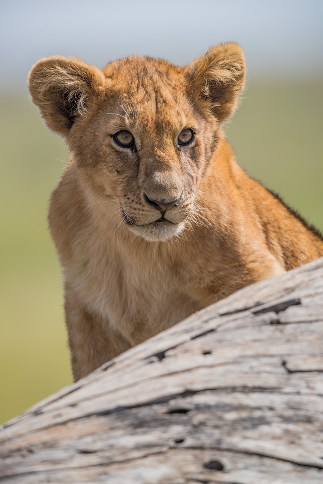 A lion (Panthera leo) cub on a fallen tree. Taken in the Central Serengeti, Tanzania, Africa.