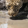 A male leopard (Panthera pardus) takes a drink from a small puddle of water. Taken in the Central Serengeti, Tanzania, Africa.