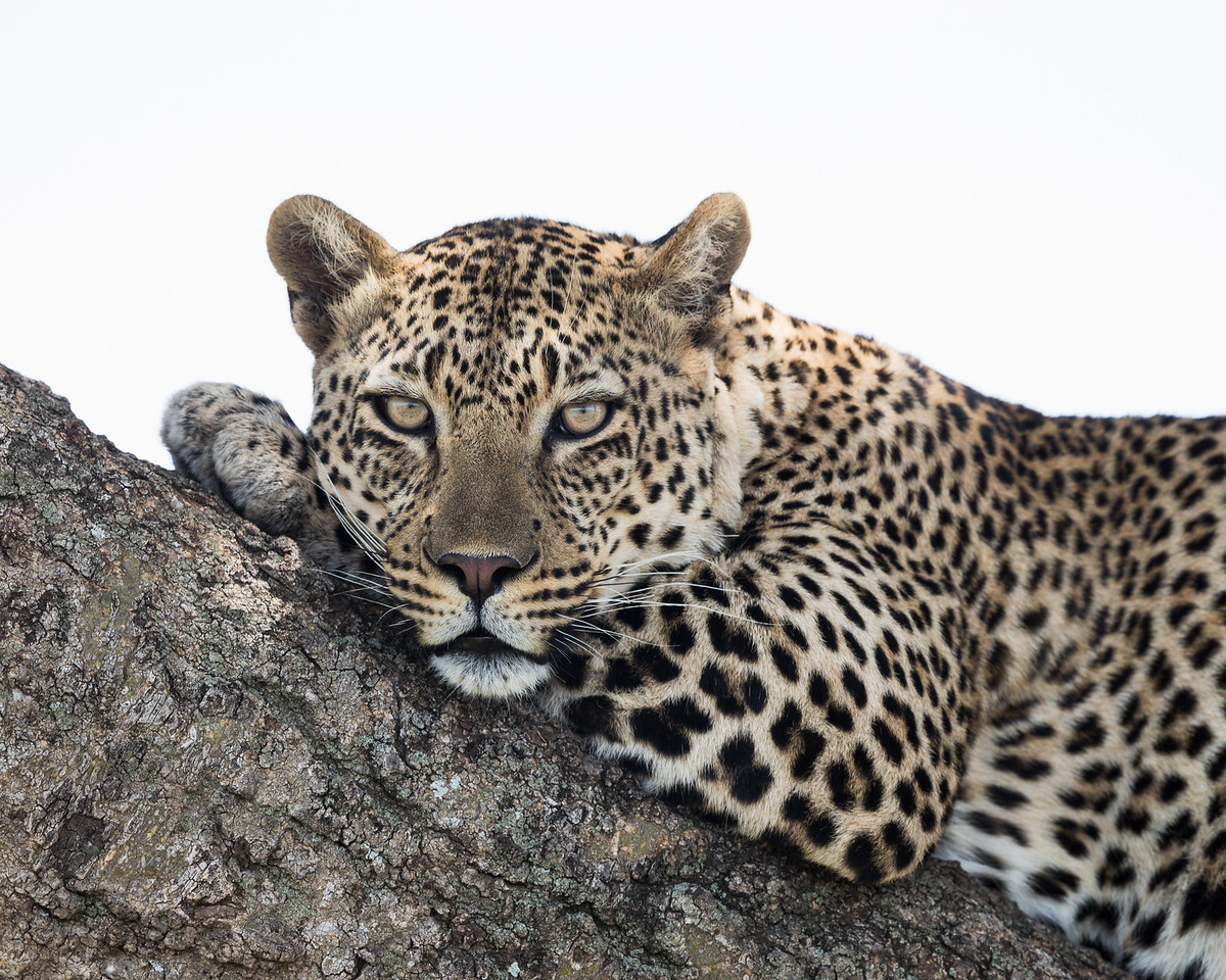 A leopard (Panthera pardus) stares intently at the photographer, while resting on the branch of a tree. Taken in the Central Serengeti, Tanzania, Africa.