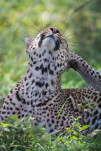 A male leopard (Panthera pardus) scratches its head as insects plague it Taken in the Central Serengeti, Tanzania, Africa.