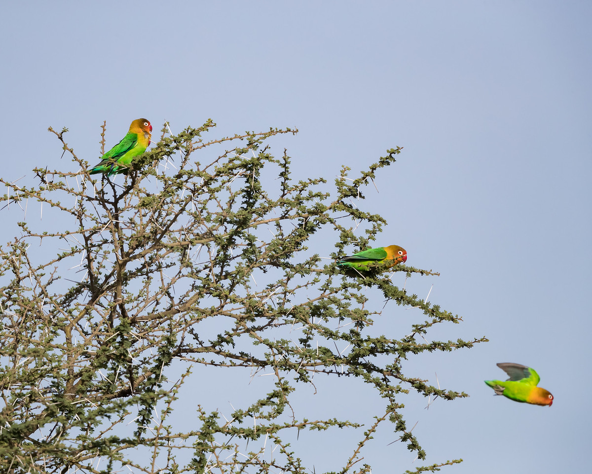Fischer's lovebirds (Agapornis fischeri). Taken in the Central Serengeti, Tanzania, Africa.