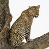 A male leopard (Panthera pardus) in a tree. Taken in the Central Serengeti, Tanzania, Africa.