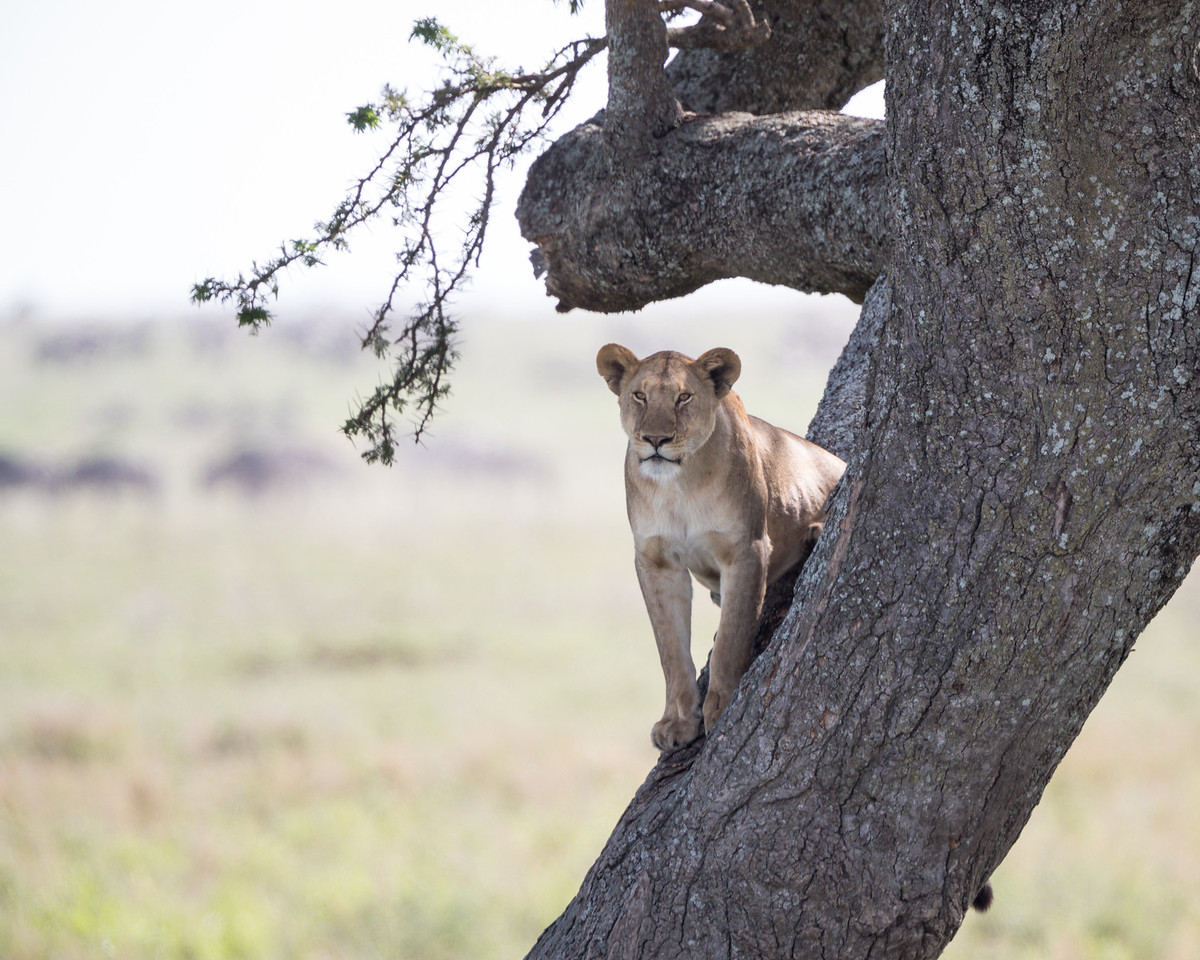 A lioness (Panthera leo) in an acacia tree. Taken in the Central Serengeti, Tanzania, Africa.