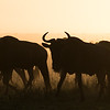 Blue wildebeest (Connochaetes taurinus) migrate. Taken in the Central Serengeti, Tanzania, Africa.