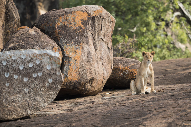 A lion (Panthera leo) atop a kopje with rock art. Taken in the Central Serengeti, Tanzania, Africa.