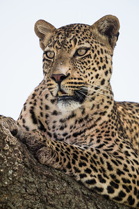 A male leopard (Panthera pardus) on the branch of a tree. Taken in the Central Serengeti, Tanzania, Africa.