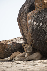 Lions (Panthera leo) rest in the shade of a rock formation with rock art, on a kopje. Taken in the Central Serengeti, Tanzania, Africa.
