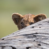 A lion (Panthera leo) cub peers from behind the trunk of a fallen tree. Taken in the Central Serengeti, Tanzania, Africa.