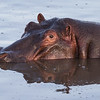 A hippopotamus (Hippopotamus amphibius), floats in a hippo pool. Taken in the Central Serengeti, Tanzania, Africa.