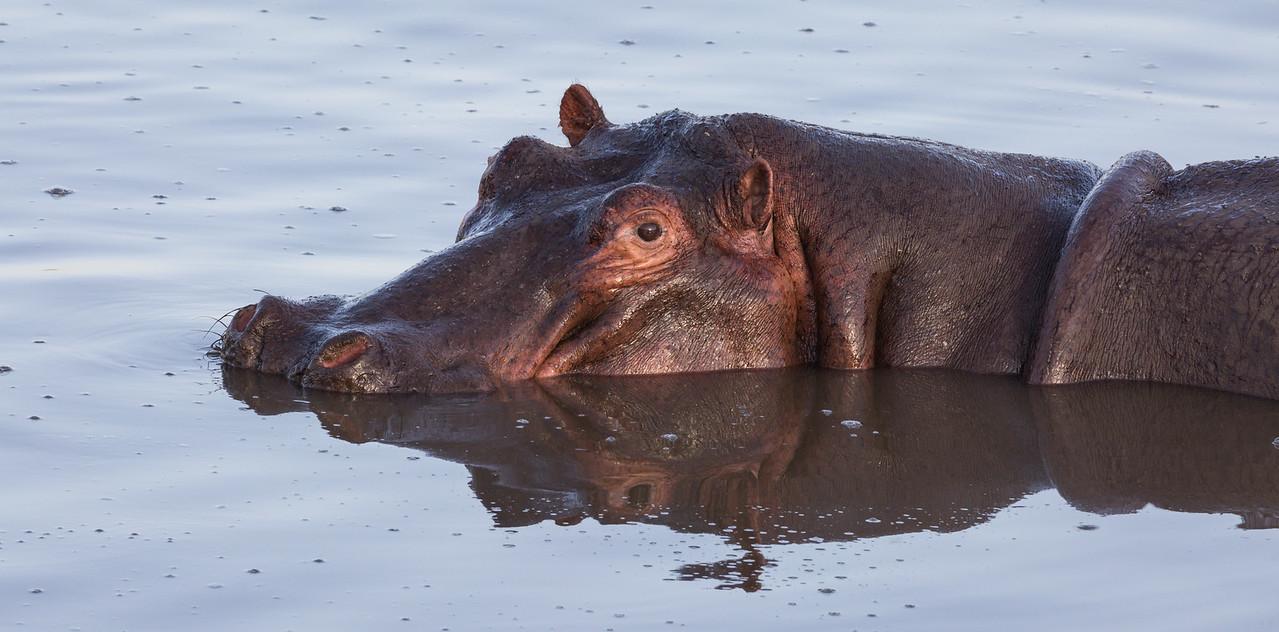 A hippopotamus (Hippopotamus amphibius), floats in a hippo pool. Taken in the Central Serengeti, Tanzania, Africa.