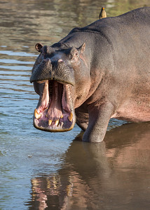 A hippopotamus (Hippopotamus amphibius) yawns, showing its large teeth. A red-billed oxpecker (Buphagus erythrorhynchus) sits ready to groom the hippo. Taken in the Central Serengeti, Tanzania, Africa.
