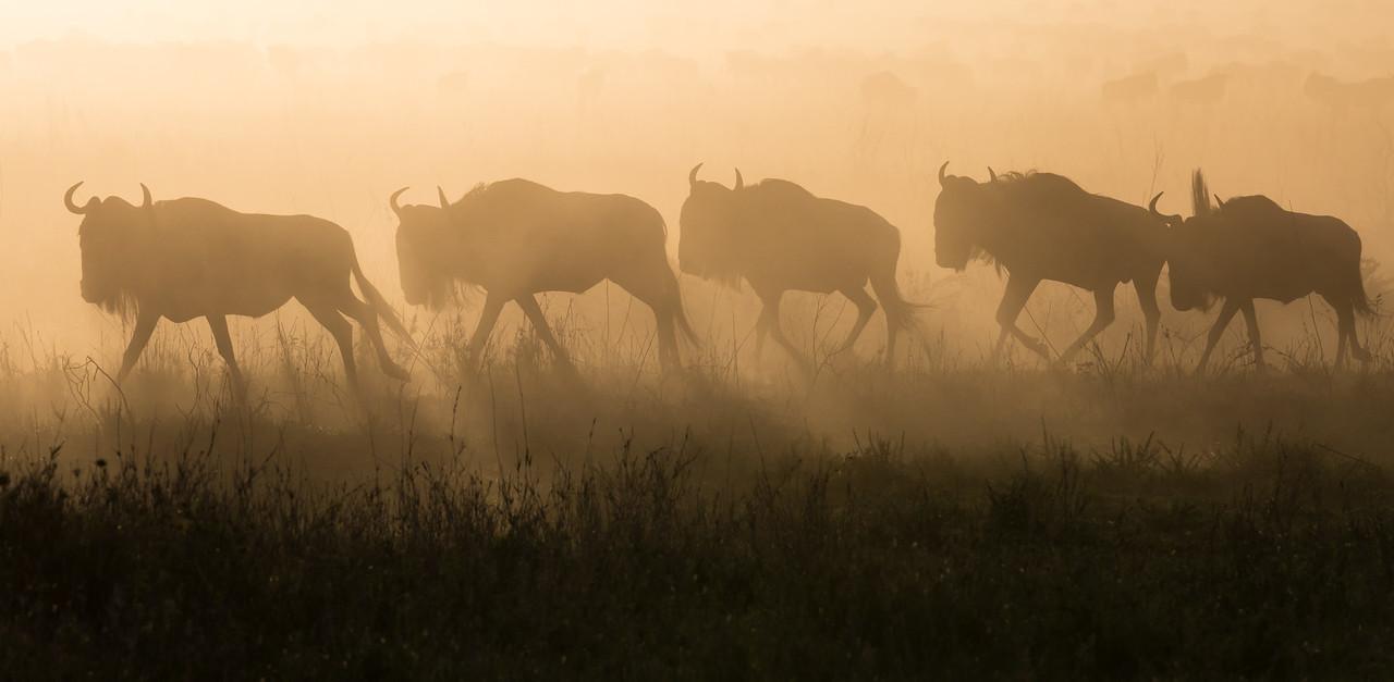 Blue wildebeest (Connochaetes taurinus) migrate. Taken in the Central Serengeti, Tanzania, Africa.
