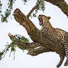A male leopard (Panthera pardus) yawns as it takes a break on the branch of a tree. Taken in the Central Serengeti, Tanzania, Africa.