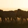 Blue wildebeest (Connochaetes taurinus) and plains zebra (Equus quagga) migrate. Taken in the Central Serengeti, Tanzania, Africa.