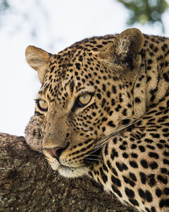 A male leopard (Panthera pardus) rests on the branch of a tree. Taken in the Central Serengeti, Tanzania, Africa.