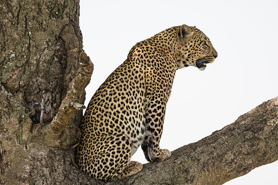 A male leopard (Panthera pardus) rests in a tree. Taken in the Central Serengeti, Tanzania, Africa.