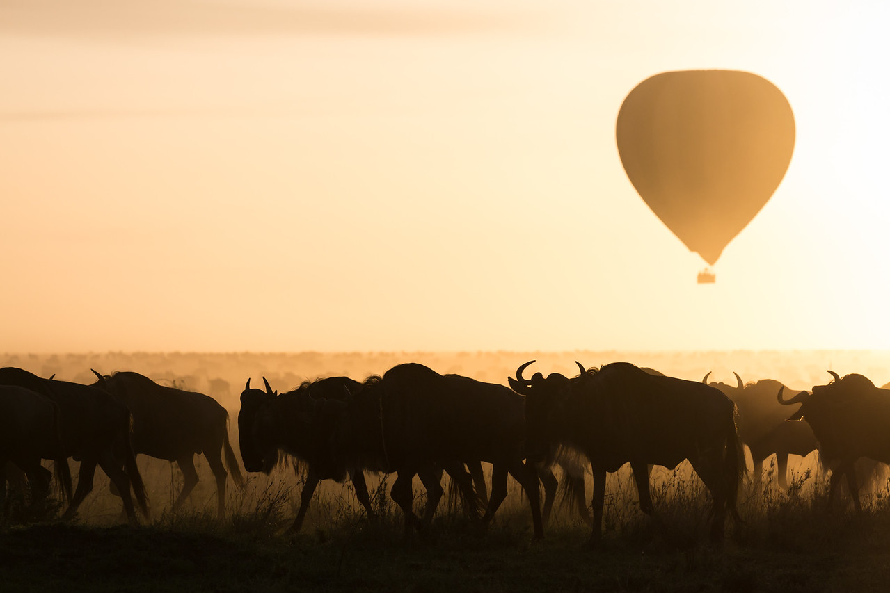 A hot air balloon floats overhead at sunrise, as blue wildebeest (Connochaetes taurinus) migrate. Taken in the Central Serengeti, Tanzania, Africa.