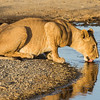 A lion (Panthera leo) drinks from a small, natural water hole. Taken in the Central Serengeti, Tanzania, Africa.