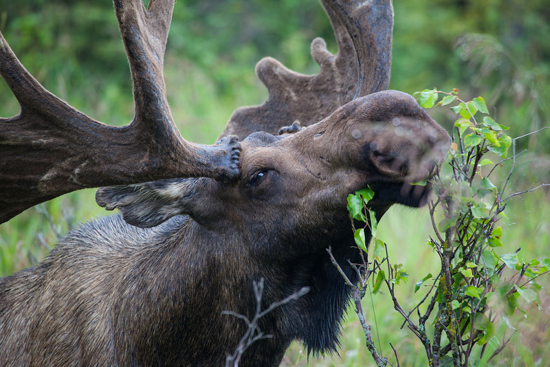 An bull, or male, moose (Alces alces). Taken Anchorage, Alaska, USA.