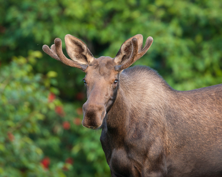 An adolescent bull, or male, moose (Alces alces). Taken in Kincaid Park, Anchorage, Alaska, USA.