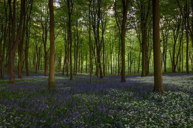 Wildhams Wood Bluebells and Wild Garlic
