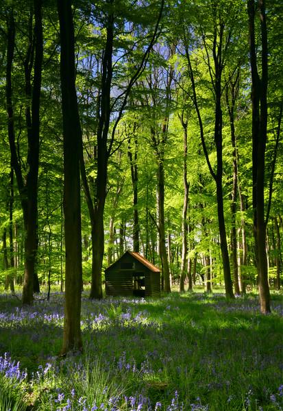 Embley Wood shack with bluebells, Hampshire