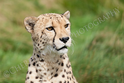 Portrait of Beautiful Curious Cheetah