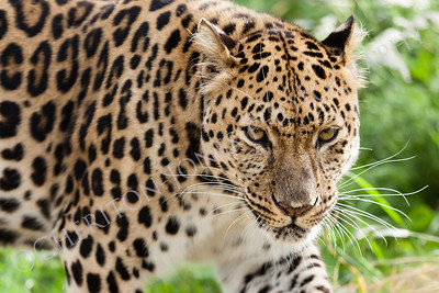 Head Shot of Amur Leopard Stalking Forwards