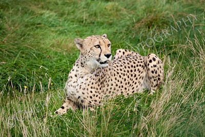Cheetah Lying Down in Long Grass